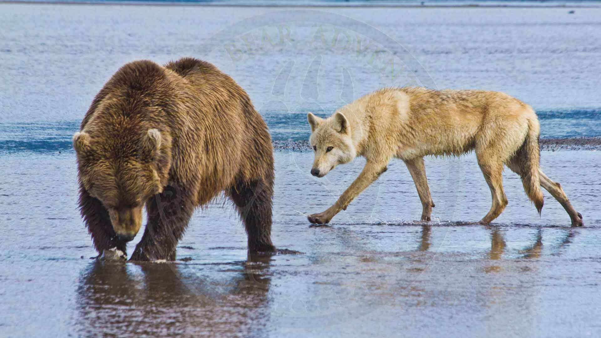 Alaska Brown Bear and Wolf Together