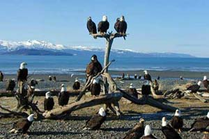 Bald-Eagles-in-Homer-Alaska