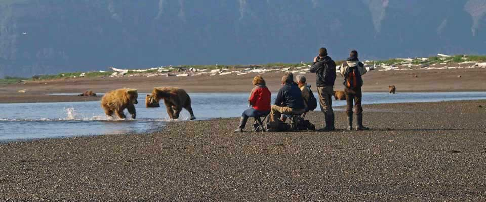 Bears Chasing Each Other in Alaska