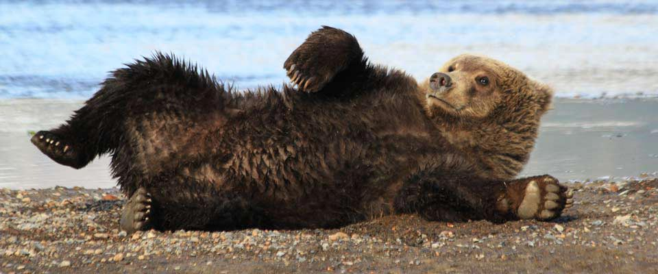 Grizzly Bear in Alaska Sunbathing on Beach