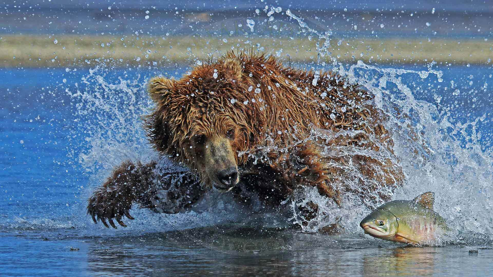 Huge Brown Bear Chasing Alaska Salmon