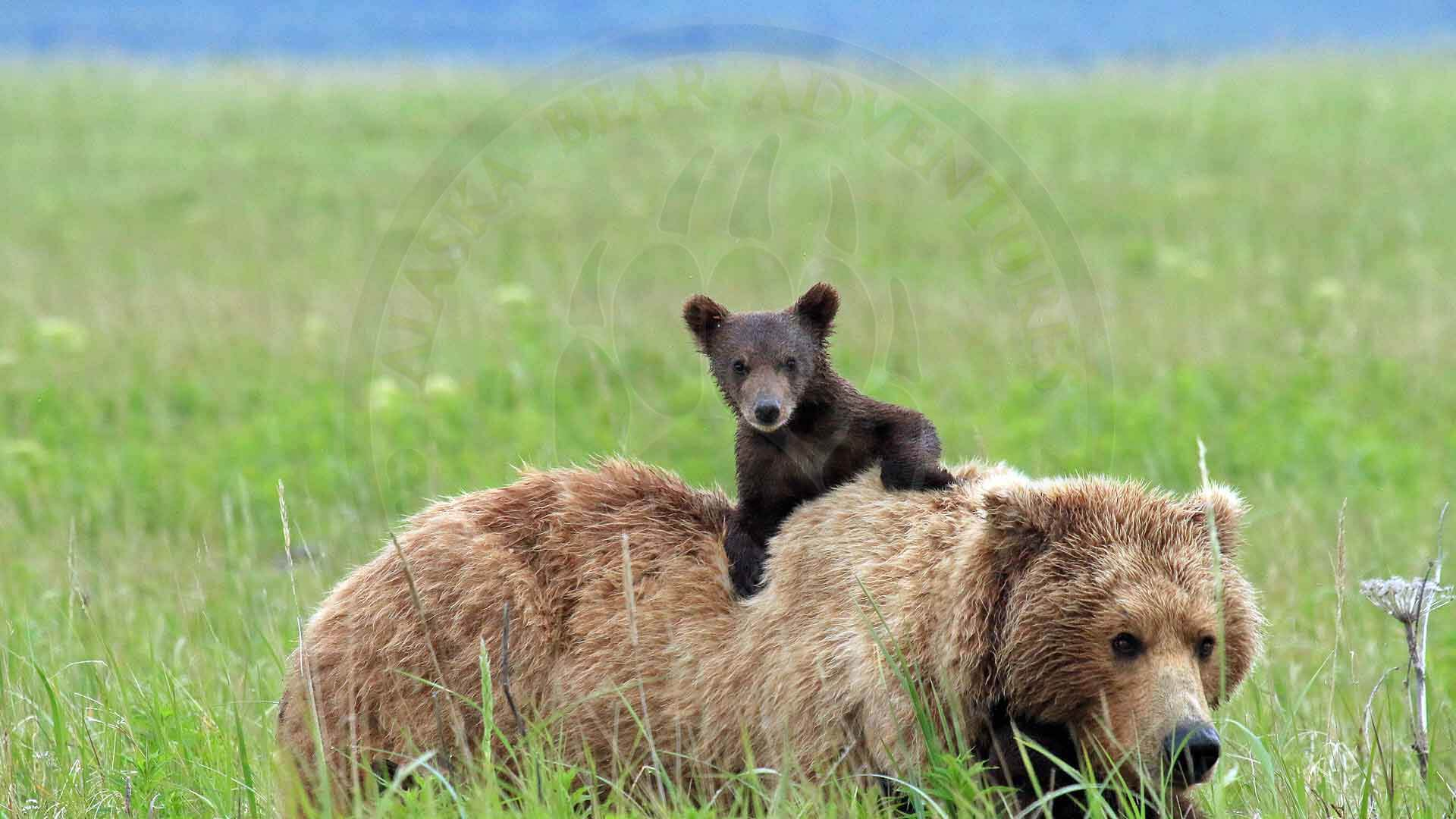 Mama Brown Bear With Cub in Alaska