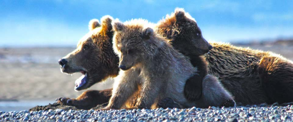Mother Bear With Three Little Cubs in Alaska