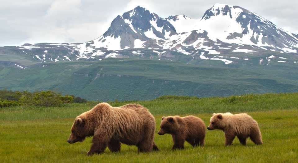 Sow-Grizzly-with-3-Cubs-in-Katmai-National-Park